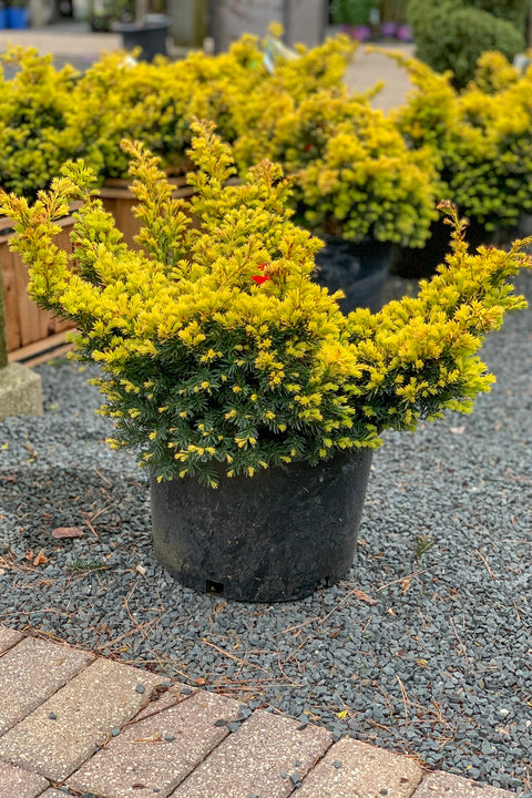 Yew, Dwarf Golden Japanese