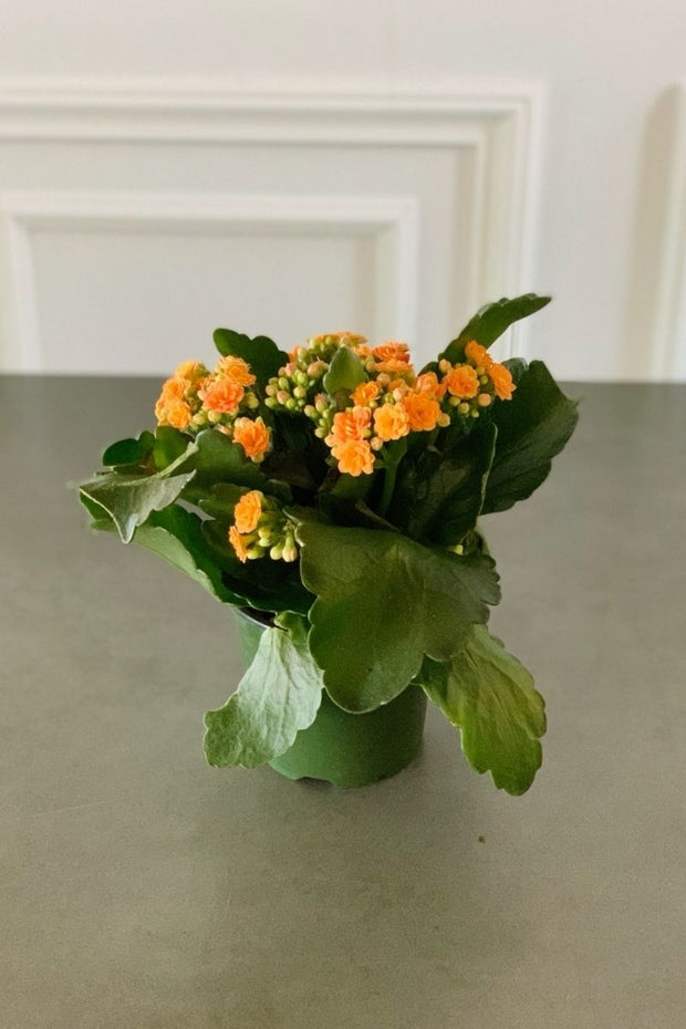 Kalanchoe, Calandiva Orange 4""