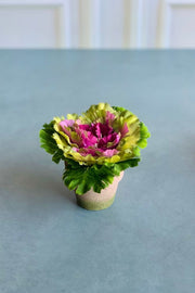 Silk Cabbage in Pot 6""
