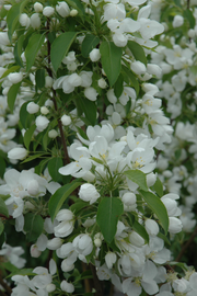 Crabapple, Spring Snow Flowering