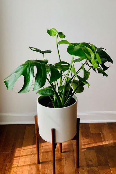 Philodendron, Split-leaf 10""