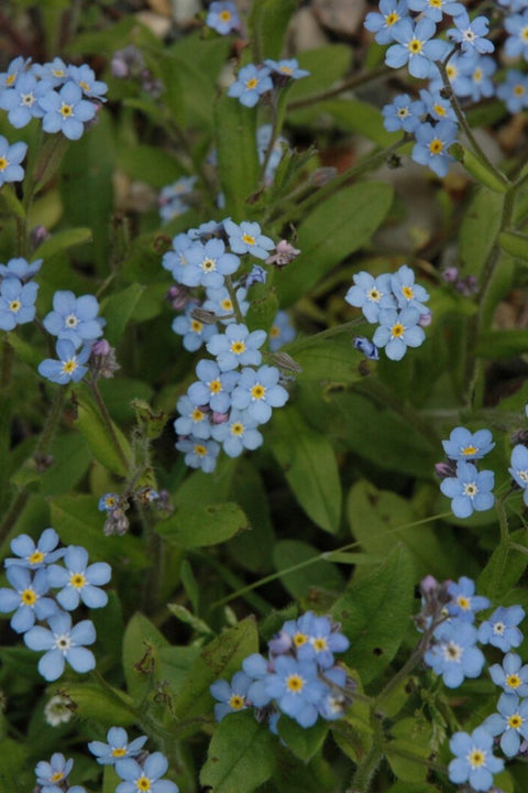 Forget-Me-Not, Blue