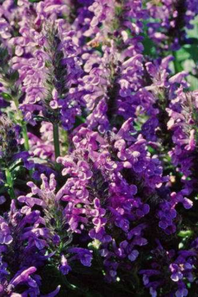Catmint, Neptune