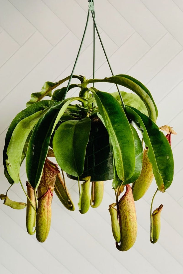 Pitcher Plant Hanging Basket 8""
