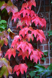 Vine, Boston Ivy