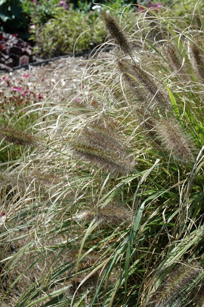 Fountain Grass, Ginger Love