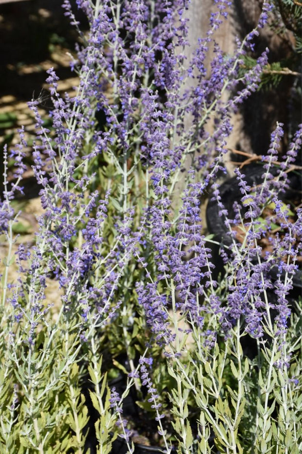 Russian Sage, Little Spire