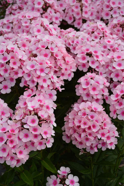 Garden Phlox, Bright Eyes
