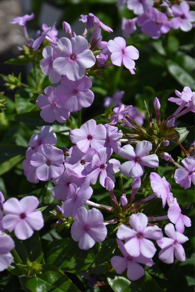Phlox, Opening Act Blush
