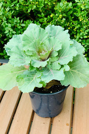 Cabbage, Ornamental Osaka Pink 4""