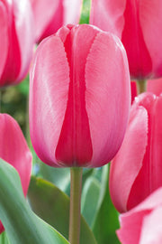 "Pink Tulip 3.25"" Spring Bulb"