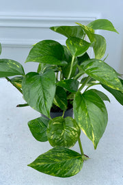 Pothos, Golden 4""