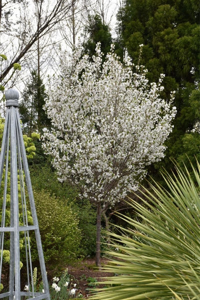 Flowering Cherry, Snow Goose