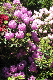 Rhododendron, Boursault