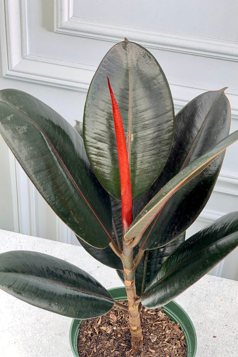 Rubber Tree, Burgundy 6""