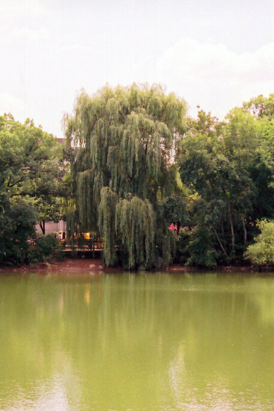 Willow, Wisconson Weeping