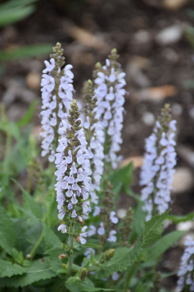 Meadow Sage, Perfect Profusion