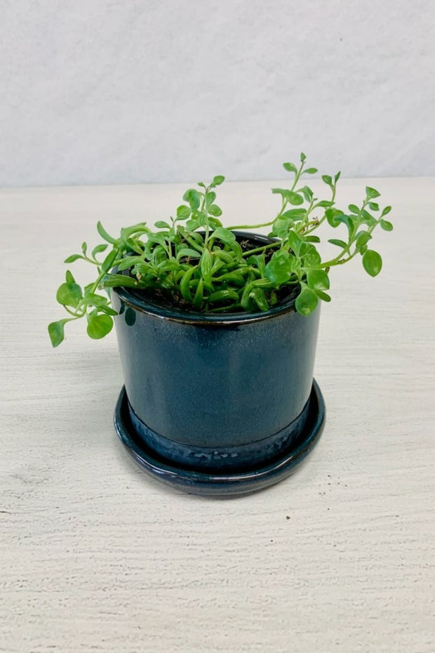 String of Dolphin Senecio 4""