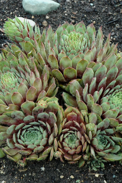 Hen & Chicks, Ruby Heart