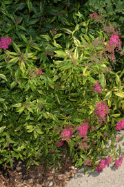 Spirea, Double Play® Painted Lady®