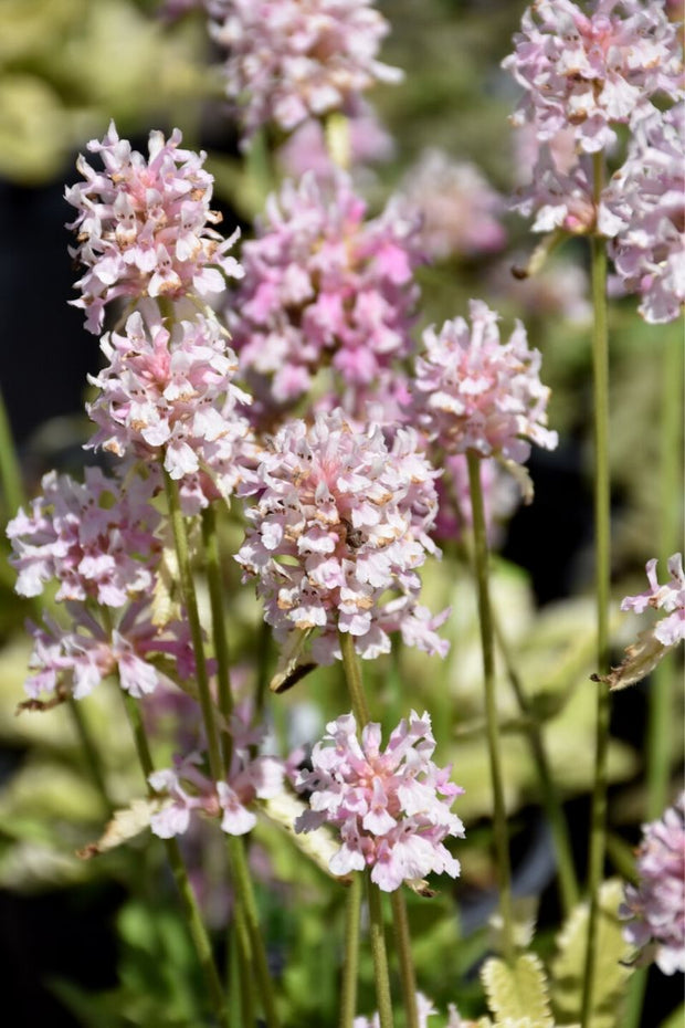 Stachys, Pink Cotton Candy