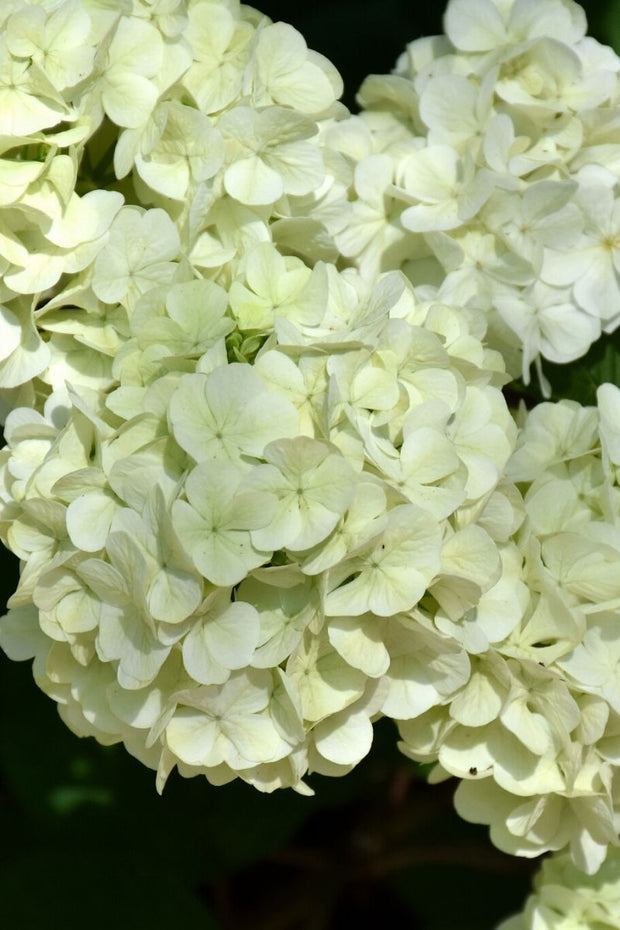 Doublefile Viburnum, First Editions® Opening Day™