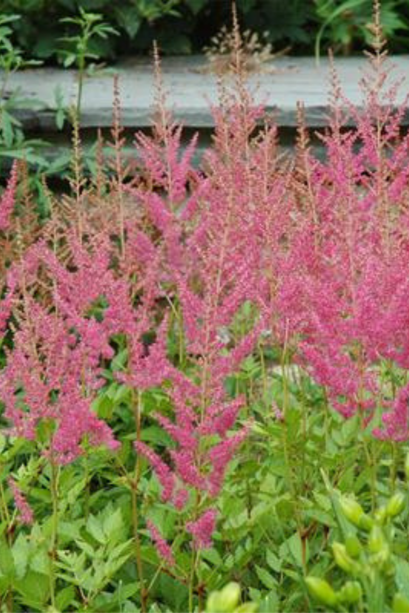 Astilbe, Visions in Pink