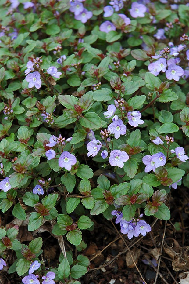 Speedwell, Waterperry Blue