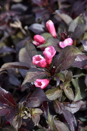 Weigela, Coco Krunch