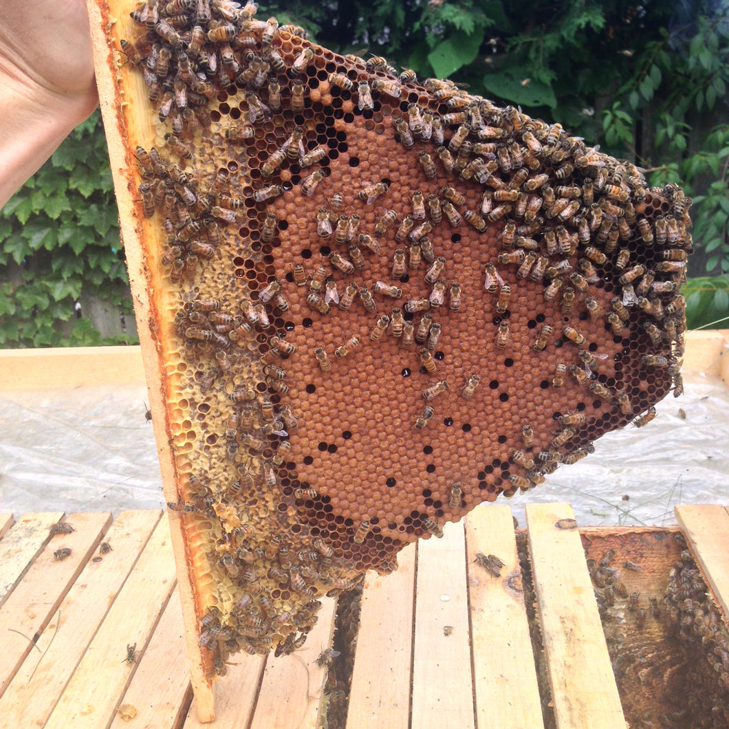 Full Top Bar Hive With Top Bar Nucleus Colony