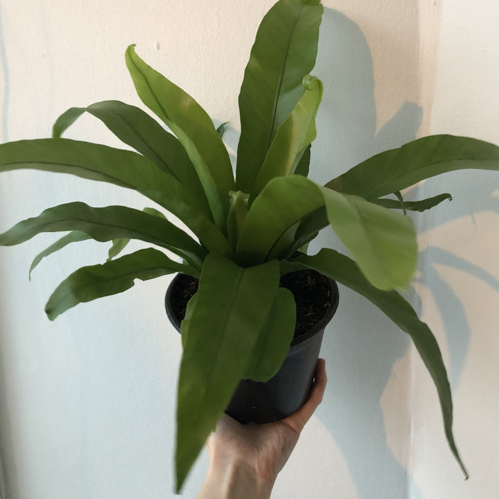 "6"" Bird's Nest Fern"