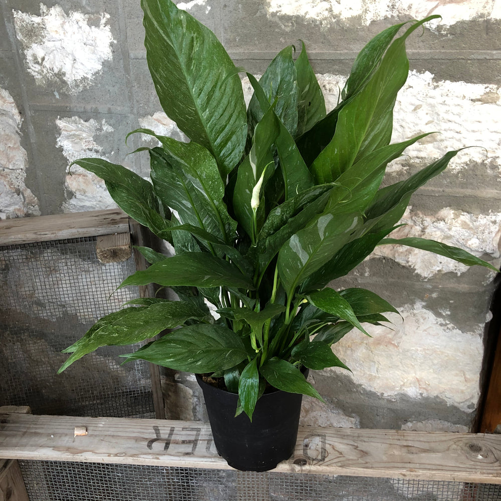 "Load image into Gallery viewer, 6""  Variegated Peace Lily"
