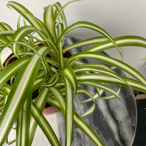 "Load image into Gallery viewer, 4"" Spider Plant"