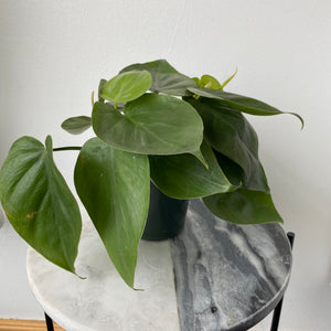 "Load image into Gallery viewer, 4"" Philodendron Cordatum"