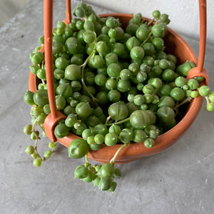 String of Pearls Mini Hanging Basket