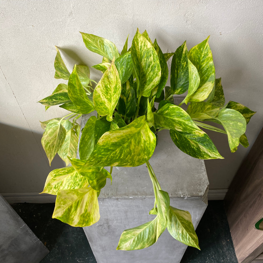 "Load image into Gallery viewer, 6"" Pothos"