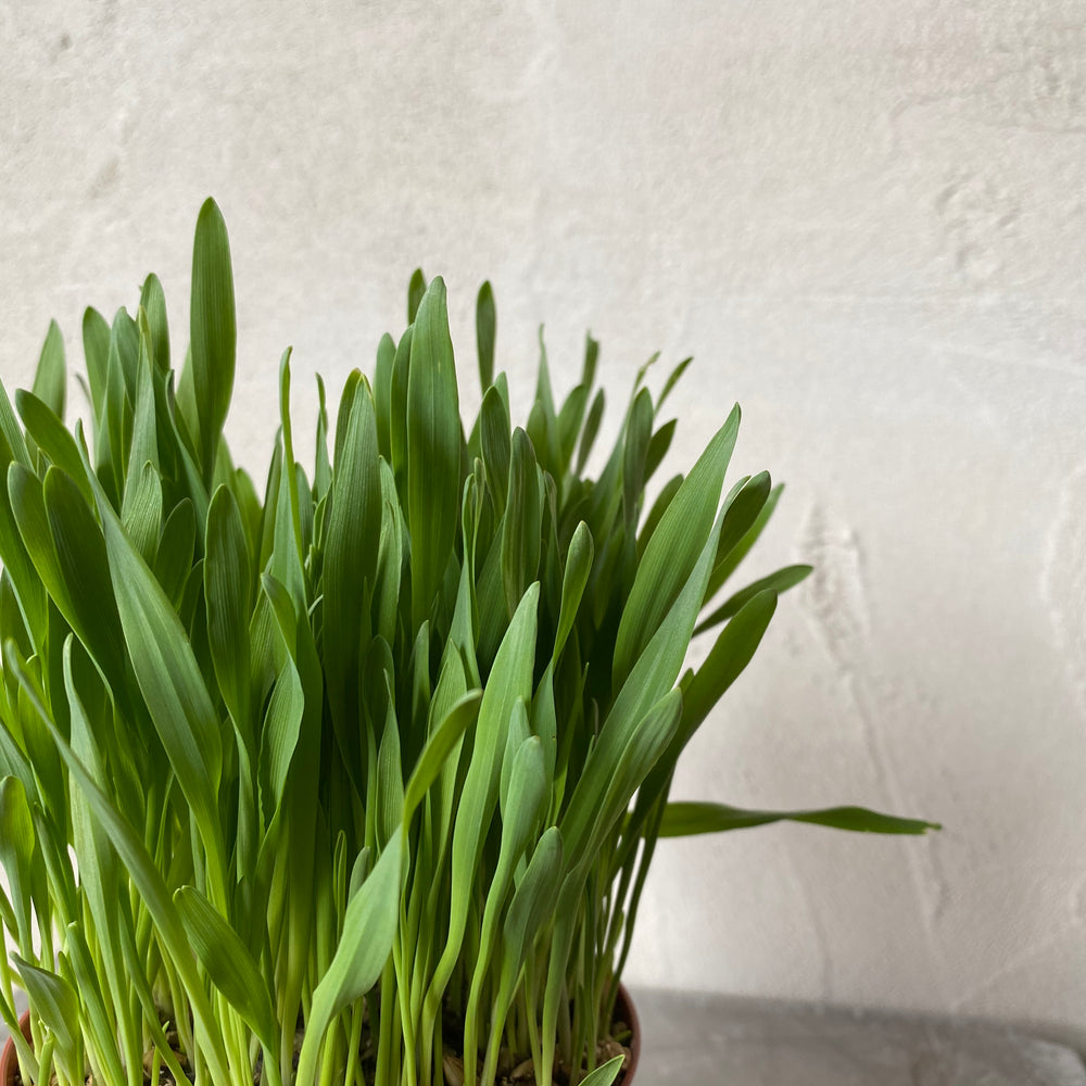"Load image into Gallery viewer, 4"" Cat Grass"