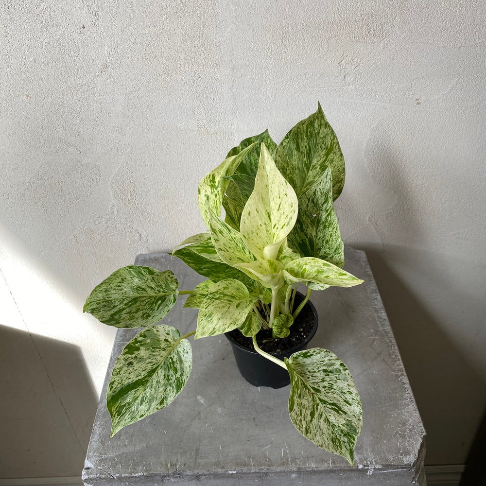 "Load image into Gallery viewer, 4"" Marble Queen Pothos"