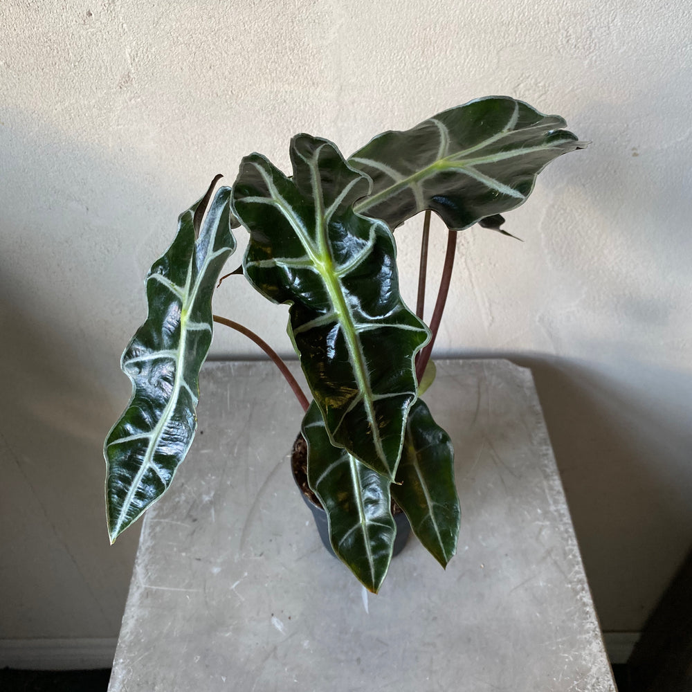 "4"" Alocasia Polly"