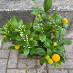 "6"" Calamondin Miniature Orange"