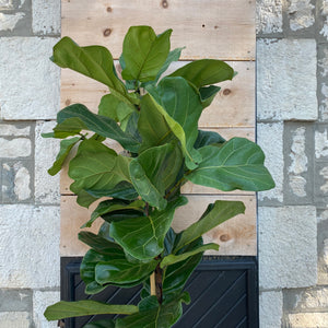 "Load image into Gallery viewer, 12"" Ficus Lyrata aka Fiddle Leaf Fig"