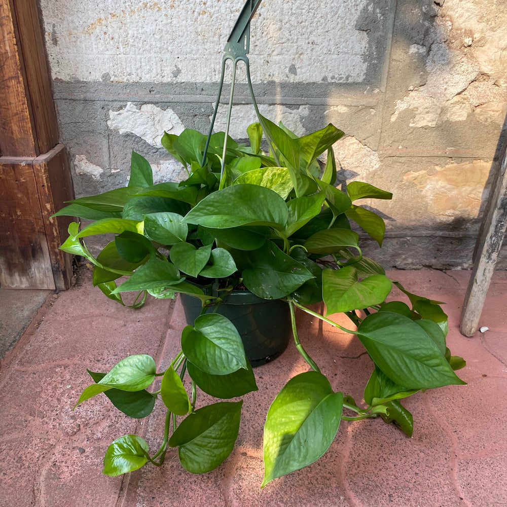 "8"" Golden Pothos Hanging Basket"
