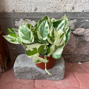 "6"" Jade and Pearl Pothos"