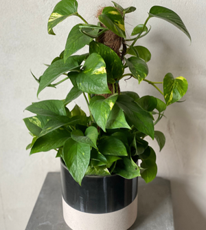"Load image into Gallery viewer, 6"" Pothos Pole Plant"