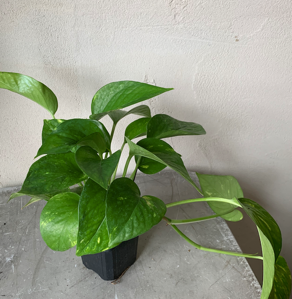 "Load image into Gallery viewer, 3"" Golden Pothos Starter Plant"