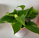 "4"" Golden Pothos"