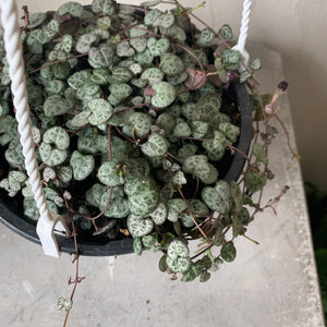 "6"" Ceropegia Woodii - String of Hearts Hanging Basket"