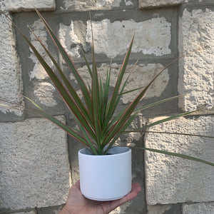 "Load image into Gallery viewer, 3"" Starter Dracaena Marginata"