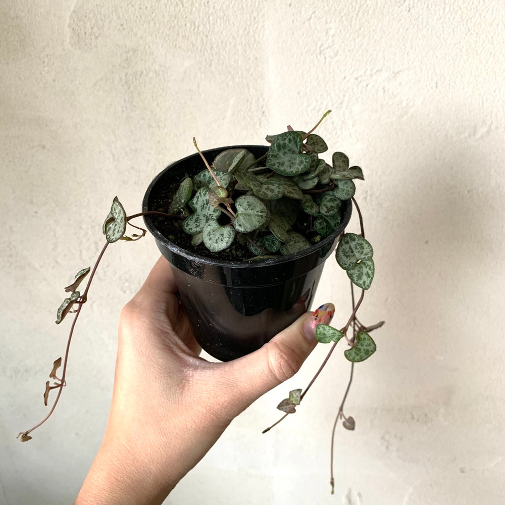 "3.5"" Ceropegia Woodii - String of Hearts"