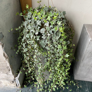 "Assorted 8"" Ivy Hanging Baskets"
